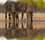 Waterbucks Tw выпивая от eaterhole с хорошим отражением воды в запасе Ongava, etosha, Намибии Стоковая Фотография