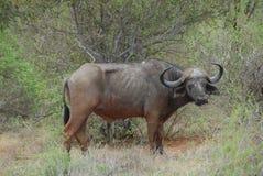 waterbuffalo Стоковые Изображения RF