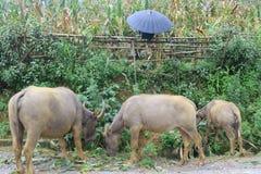 Waterbuffalo och paraply arkivfoto