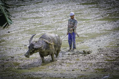 Waterbuffalo and ploughman in asia Royalty Free Stock Images