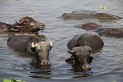 Waterbuffalo' s i Indien royaltyfria bilder