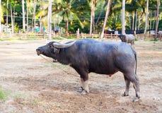 Waterbuffel Stock Afbeelding