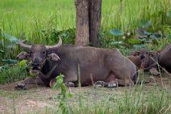 Waterbuffel Stock Fotografie