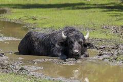 Waterbuffel die in de modderige stroom liggen Royalty-vrije Stock Afbeelding