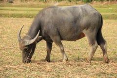 Waterbuffel die gras eet Stock Afbeeldingen