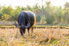 Waterbuffel die gras op gebied eten Stock Afbeelding