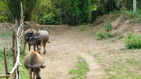 Waterbuffel die terug naar de landbouwgrond lopen stock footage