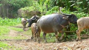 Waterbuffel die terug naar de landbouwgrond lopen stock video