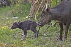 Waterbuffel en baby Stock Afbeeldingen