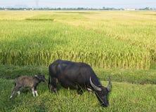 Waterbuffel en Kalf in Padieveld Royalty-vrije Stock Foto