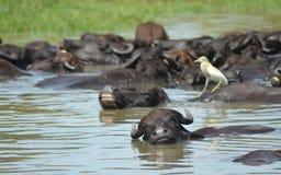 Waterbuffel in het meer op de hete zomer. Stock Foto's