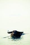 Waterbuffel in Koh Samui, Thailand stock fotografie