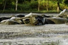 Waterbuffel in Modder stock foto's