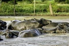 Waterbuffel in Modder royalty-vrije stock afbeeldingen