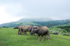 Waterbuffel in Qingtiangang stock foto