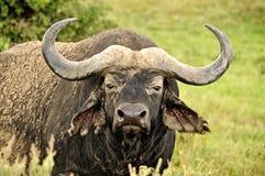 Waterbuffel in safari masa-Mara in Kenia Royalty-vrije Stock Fotografie