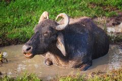 Waterbuffel, Sri Lanka Royalty-vrije Stock Foto