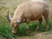 Waterbuffel in Thailand Stock Foto
