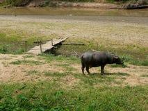 Waterbuffel in Thailand Royalty-vrije Stock Foto