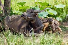 Waterbuffelfamilie Royalty-vrije Stock Afbeelding