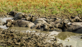Waterbuffels Stock Afbeeldingen