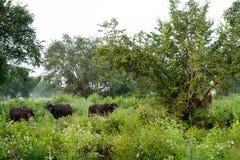 Waterbuffels die in het udawalawe nationale park weiden, Sri Lanka stock foto