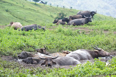 Waterbuffels in een modder royalty-vrije stock foto