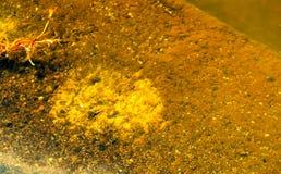 Waterbug y x28; Agua Strider, Gerridae& x29; en el agua estancada Fotografía de archivo