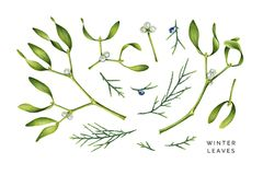 Watercolo set of winter leaves. Mistletoe and savin juniper. Green winter plants with berries. Hand painted illustration isolated on white vector illustration