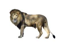 Watercolor λιονταριών Στοκ Εικόνες
