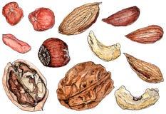 Watercolor καρύδια που τίθενται ορεκτικά στο λευκό Στοκ Εικόνες