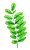 Watercolor με τα πράσινα φύλλα Στοκ Εικόνα