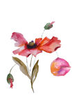 watercolor παπαρουνών λουλουδιών Στοκ Φωτογραφία
