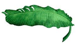 Watercolor που χρωματίζει την πράσινη άδεια που απομονώνεται στο άσπρο υπόβαθρο Χρωματισμένα φύλλα τροπικό εξωτικό λ μπανανών απε διανυσματική απεικόνιση