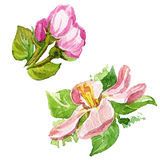 Watercolor που χρωματίζει το άνθος της Apple Στοκ φωτογραφία με δικαίωμα ελεύθερης χρήσης