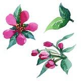 Watercolor που χρωματίζει το άνθος της Apple Στοκ Φωτογραφίες