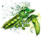 Watercolor πράσινων μπιζελιών Στοκ Εικόνες