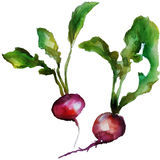 Watercolor ραδικιών Στοκ εικόνα με δικαίωμα ελεύθερης χρήσης