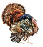 Watercolor Τουρκία που απομονώνεται στο άσπρο υπόβαθρο Στοκ Εικόνες