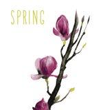 Watercolor των λουλουδιών Magnolia διανυσματική απεικόνιση