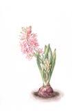 υάκινθος λουλουδιών που χρωματίζει το ρόδινο watercolor Στοκ εικόνες με δικαίωμα ελεύθερης χρήσης