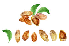 Watercolor almond Royalty Free Stock Image