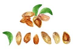 Watercolor almond Stock Photo