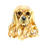 Watercolor American Cocker Spaniel on white background Royalty Free Stock Photography