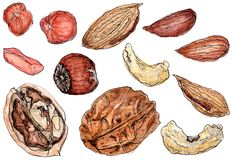 Watercolor appetizing nuts set on white. Set of watercolor nuts: cashew, walnut, peanut, hazelnut and almond in shell and without stock illustration