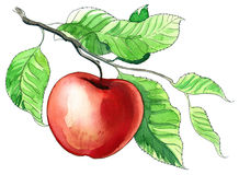Watercolor Apple Royalty Free Stock Images