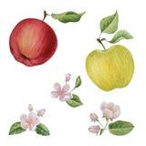 Watercolor apple bloom flowers Stock Photos