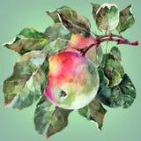 Watercolor apple on a branch. Floral illustration. Green background. Watercolor apple branch background fruit handiwork design floral leaf green  illustration Royalty Free Stock Photography