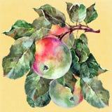 Watercolor apples on a branch. Floral illustration. Yellow background. Watercolor apple branch background fruit handiwork design floral leaf green  illustration Royalty Free Stock Images