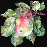 Watercolor apple on a branch. Floral illustration. Black background. Watercolor apple branch black background fruit handiwork design floral leaf green Stock Photo